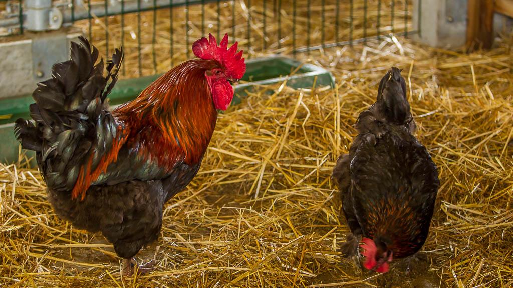 Hühner auf dem Hofgut Georgenau