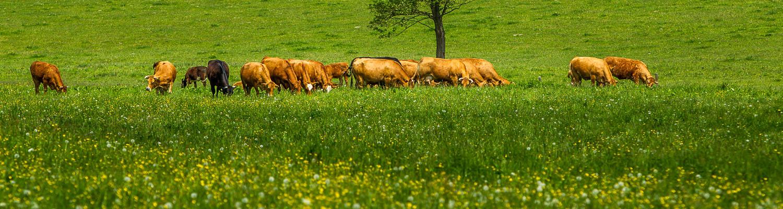 Hof Georgenau Hofgut Viehzucht Ammenkuhhaltung